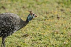 Blue helmeted guineafowl, Numida meleagris, Stock Photos