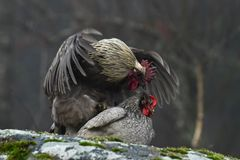 Blue hens mating on rocks stock images