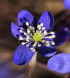 Blue hepatica flower closeup Royalty Free Stock Photos
