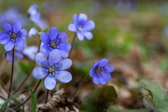 Blue hepatica flower in forest. Green macro Stock Images