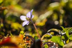 Blue hepatica flower in a spring forest. Blue hepatica spring flower in a spring forest stock photography