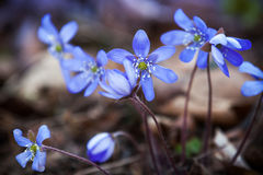 Blue Hepatica flowers in the spring forest Stock Photos