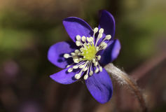 Blue hepatica nobilis flower closeup Royalty Free Stock Photo