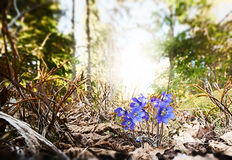 Blue Hepatica nobilis flowers in spring nature with evergreen su Stock Images
