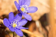 Blue Hepatica nobilis in spring. Blue spring flower, Hepatica nobilis Stock Photo