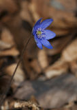 Blue hepatica. Single blue hepatica growing in forest Royalty Free Stock Photos