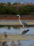 Blue hero at sunset. Blue heron standing in the marsh Stock Photos
