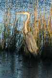 Blue Heron. Along the shore Stock Images