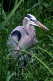 Blue Heron Royalty Free Stock Photos