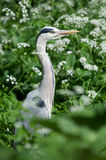 Blue heron. The blue heron is a widly distributed predatory and oppertunistic bird Stock Photo