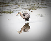 Blue Heron. Hunting for fish in Washington state Royalty Free Stock Photo