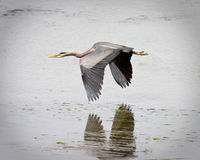 Blue Heron. Flying over water in Washington state Stock Photo