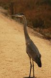 Blue Heron. Tall Blue Heron Standing in the middle of a trail Stock Photos