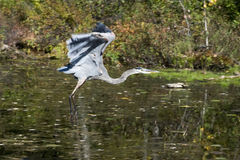 Blue Heron. Flying over the water Stock Photography