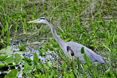Blue Heron Stock Photos