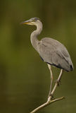 Blue heron Royalty Free Stock Image