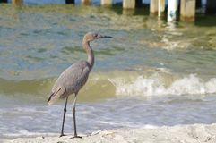 Blue heron. On the white sand of sanibel island Royalty Free Stock Image