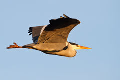 Blue heron. A flying blue heron Royalty Free Stock Images