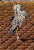 A blue heron. On a roof Royalty Free Stock Images