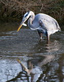 Blue heron Royalty Free Stock Photography