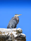 A Blue Heron Stock Images