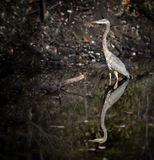 Blue Heron Stock Photography