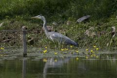 Blue Heron. On the waterfront in nature area Meinerswijk, Arnhem, Netherlands Royalty Free Stock Image
