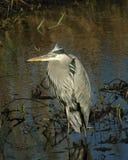 Blue Heron 2970 Stock Photos