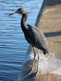 Blue heron. Standing on seawall in Florida stock photography
