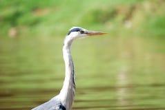 Blue Heron. Close up image of a blue heron next to a lake Stock Photo