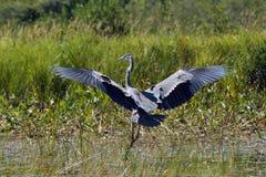 Blue Heron. Landing in a marsh Stock Photography