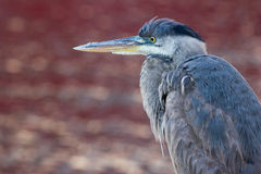 Blue Heron against Red Water Royalty Free Stock Photography