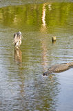 Blue Heron and alligator Stock Photography
