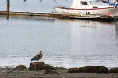 Blue Heron along Shore with Boat Royalty Free Stock Photo