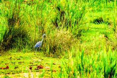 Blue Heron along the shoreline of  the Olifants River in Kruger Park. Blue Heron along the shoreline of the Olifants River in Kruger Park, near Phalaborwa on the Stock Photography