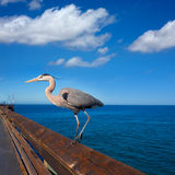 Blue Heron Ardea cinerea in Newport pier California Stock Photo