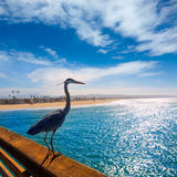 Blue Heron Ardea cinerea in Newport pier California Royalty Free Stock Image
