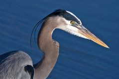 Blue Heron, Ardea herodias Royalty Free Stock Images