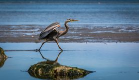 Blue heron ` ardea herodias ` chasing and catching fish. A great blue heron stalks the waters of an estuary to catch fish Stock Photography
