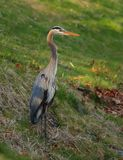 Blue heron Ardea herodias fishing on a lake bank Royalty Free Stock Image