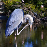 Blue Heron (Ardea Herodias) Royalty Free Stock Images