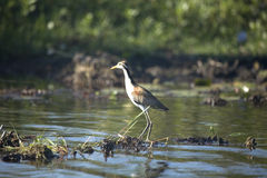Blue heron in argentina Stock Image