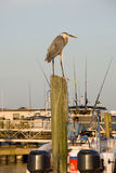 Blue Heron Atop Pole at Marina Portrait Royalty Free Stock Image