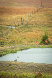 Blue Heron in Autumn Stock Photography