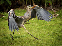 Blue Heron. A be heron begins to fly Royalty Free Stock Images