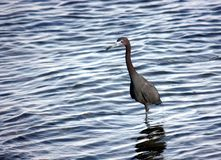 Blue heron on the beach Stock Images