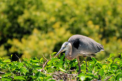 Blue Heron Bird Stock Photo