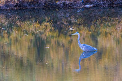 Blue Heron Bird in a Toronto Park Pond Stock Image