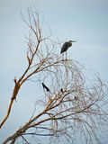 Blue Heron & Black Birds Royalty Free Stock Image