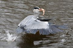 Blue Heron. Is catching a fish Royalty Free Stock Photography
